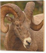 Bighorn Ram With Evident Disdain Wood Print