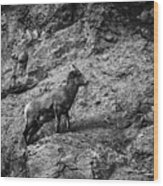 Bighorn Sheep Ewe On Wolf Creek Pass Wood Print