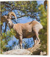 Bighorn Sheep In The San Isabel National Forest Wood Print