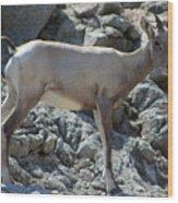 Bighorn Sheep Lamb Wood Print