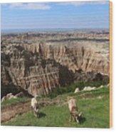 Bighorn Sheeps At Sage Creek Wood Print