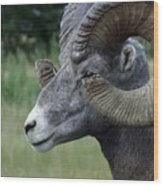 Bighorned Ram Wood Print