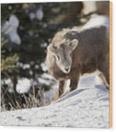 Bighorned Yearling - King Of The Hill Wood Print