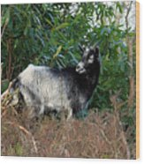 Kerry Mountain Goat Wood Print