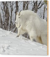 Billy Goat On The Move Wood Print