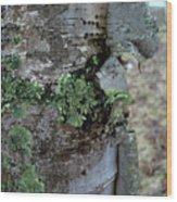 Birch Bark 1 Wood Print