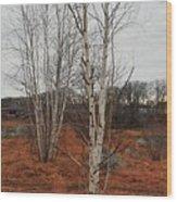 Birch On A Rocky Hill  Wood Print