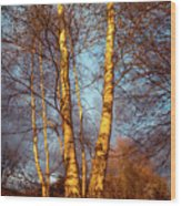 Birch Tree In Golden Hour Wood Print