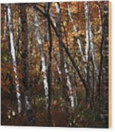 Birch Trees In The Fall Wood Print