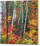 Birch Trees With Colorful Fall Foliage Wood Print