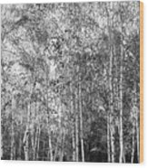 Birch Trees1 Wood Print