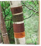 Birch Wood Tree  Wood Print