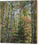 Birches In Fall Forest Wood Print