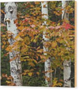 Birches In Fall Wood Print