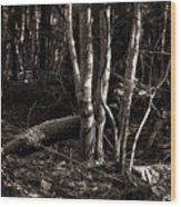 Birches In The Wood Wood Print