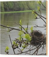 Bird Nest In Ash Tree Branches Wood Print