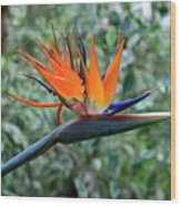Bird Of Paradise 2 Wood Print