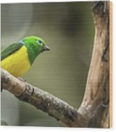 Bird Of Peru Wood Print