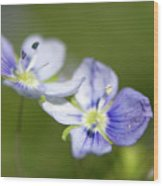 Birds Eye Speedwell Wood Print