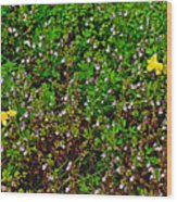 Birdsfoot Trefoil Surrounded By Tiny Bright Eyes In Campground In Saginaw-minnesota Wood Print