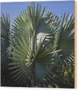 Bismarckia Wood Print