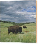 Bison And Their Calves Graze In Custer Wood Print