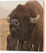 Bison Bellowing At The Sky Wood Print
