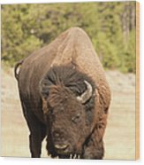 Bison Wood Print by Corinna Stoeffl, Stoeffl Photography