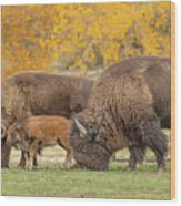 Bison Family Nation Wood Print