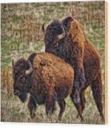 Bison Having Fun Wood Print by Paul W Sharpe Aka Wizard of Wonders