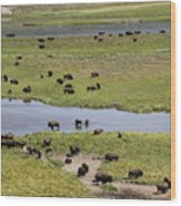 Bison Herd And Yellowstone River Wood Print