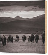 Bison Herd Into The Sunset - Bw Wood Print