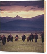 Bison Herd Into The Sunset Wood Print
