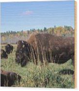 Bison Home On The Range Wood Print