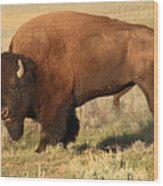 Bison Huffing And Puffing For Herd Wood Print