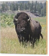 Bison In Grass Wood Print