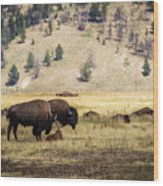 Bison With Calf Wood Print