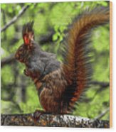 Black Abert's Squirrel - Half And Half Wood Print