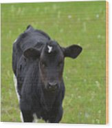 Black And White Calf Standing In A Field Wood Print