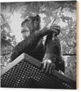 Black And White Chimpanzee Wood Print