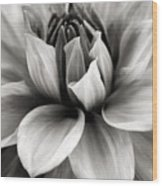 Black And White Dahlia Wood Print by Danielle Miller