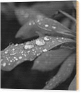 Black And White Dewy Petals Wood Print