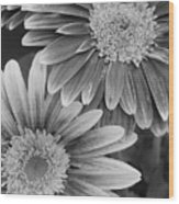 Black And White Gerber Daisies 2 Wood Print