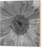 Black And White Gerbera Daisy Wood Print