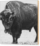 Black And White Of A Massive Bison Bull In The Snow  Wood Print