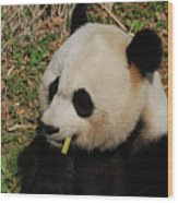 Black And White Panda Bear Eating Green Bamboo Shoots Wood Print