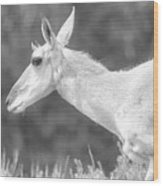 Black And White Pronghorn Portrait Wood Print