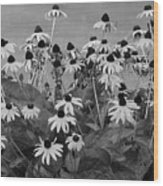 Black And White Susans Wood Print