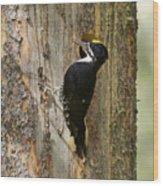 Black-backed Woodpecker Wood Print