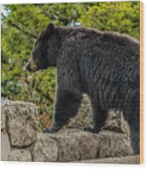 Black Bear Boar Taking In The Sights Wood Print